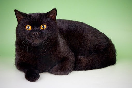 how to tell what breed your black cat is