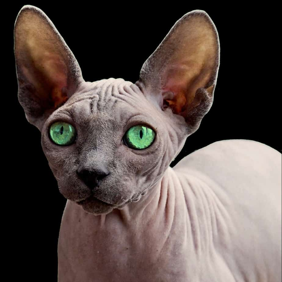 Top 10 Rarest Cat Breeds In The World
