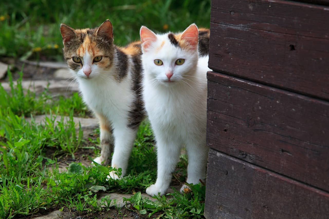 How To Tell If A Cat Is Male Or Female A Cat Breeds Blog