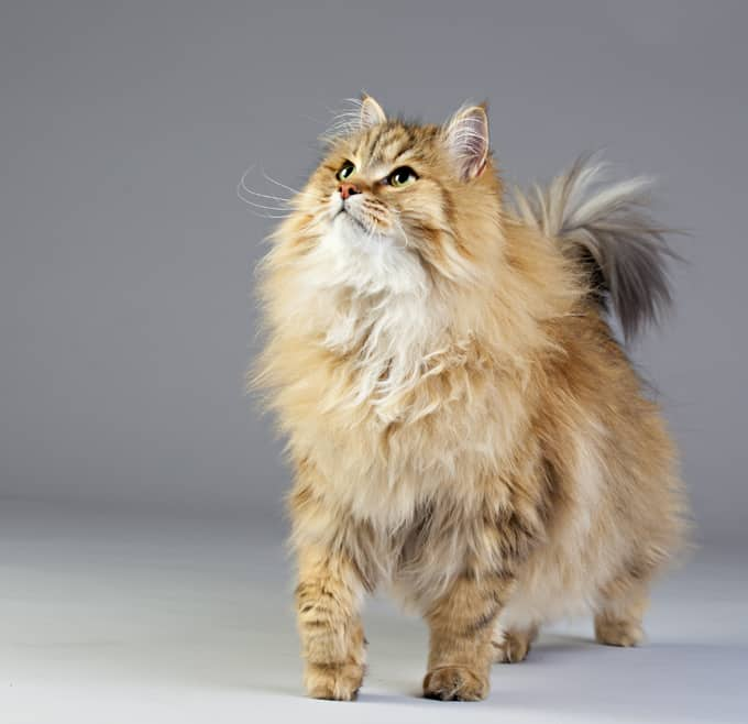 Where Are The Most Pure Breed Cats Live