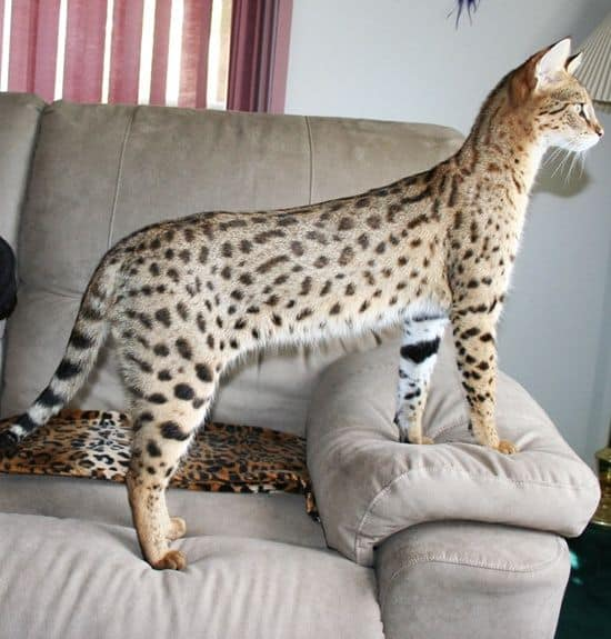 Savannah Cat: The Ultimate Guide to their history, types