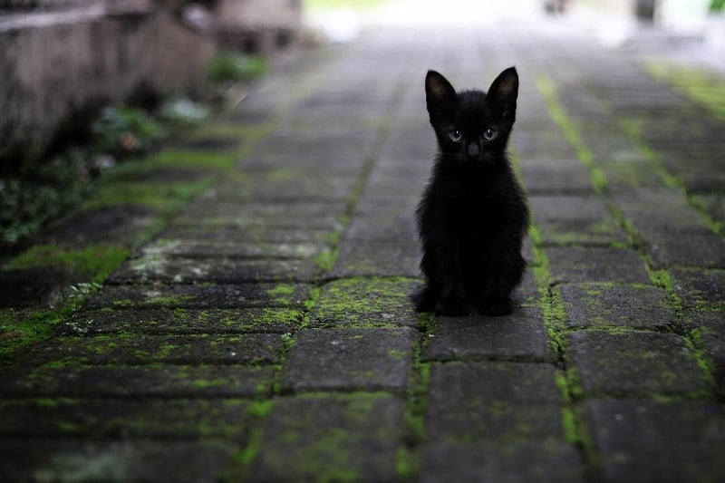 15 Beautiful Black Kittens A Cat Breeds Blog