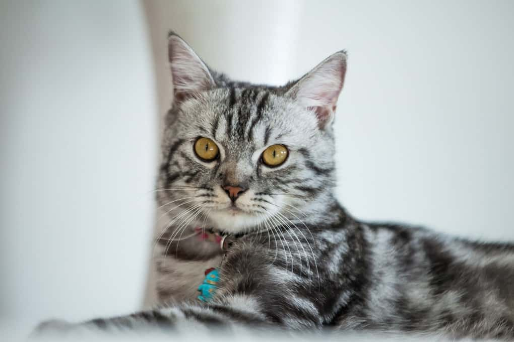 American Shorthair: The Ultimate Guide to Their History ...