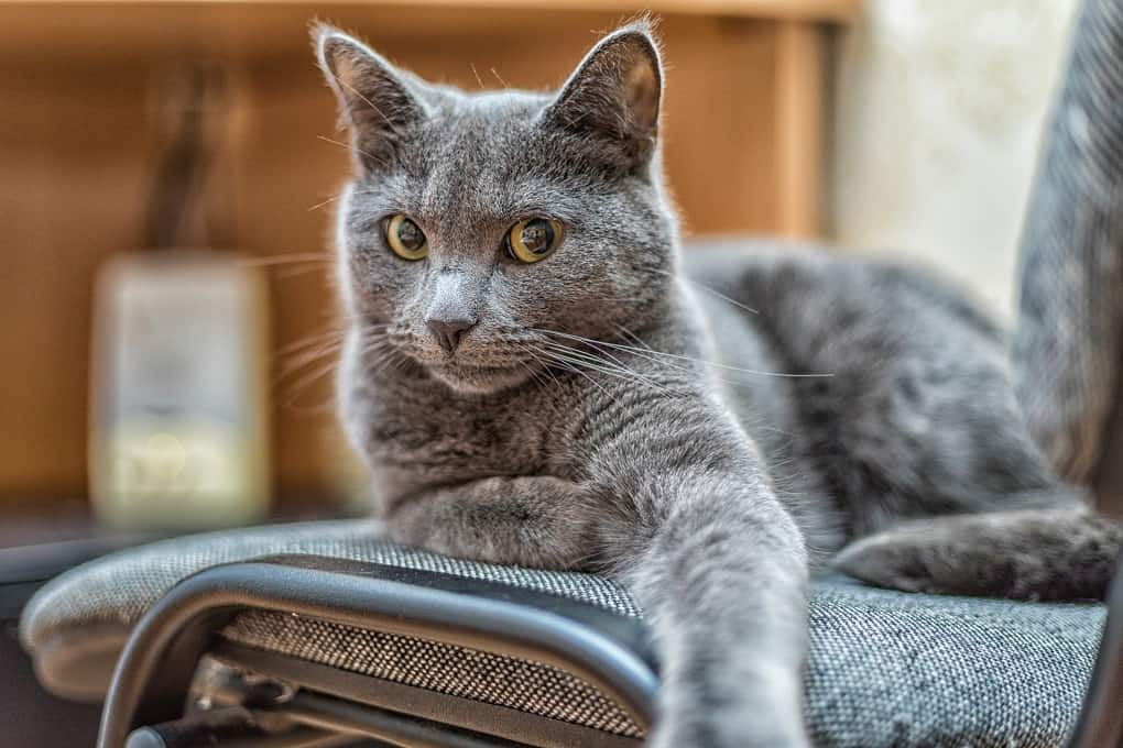 Russian Blue Cats The Ultimate Guide To Their History