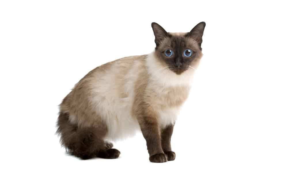 Balinese Cat The Ultimate Guide To Their History Types