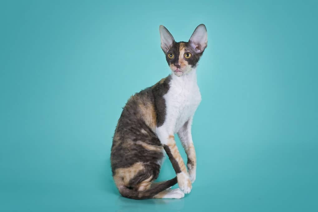 94e741bf8cc53b Cornish Rex  The Ultimate Guide to Their History