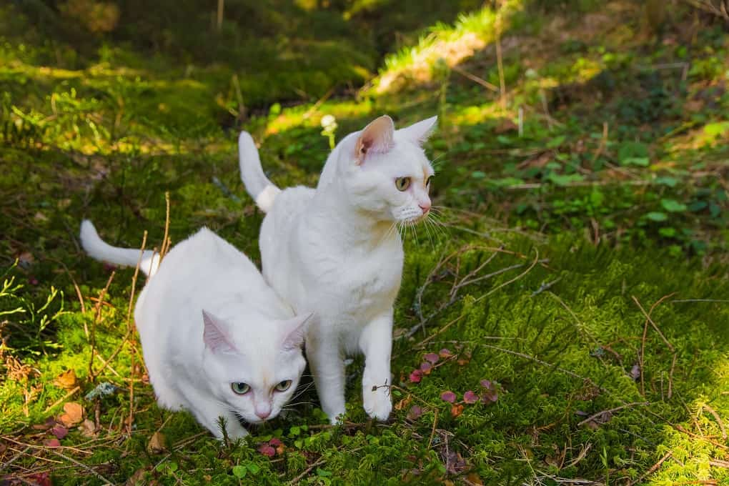 Two burmilla cats