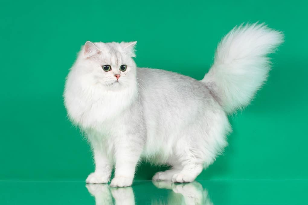 british semi-longhair cat