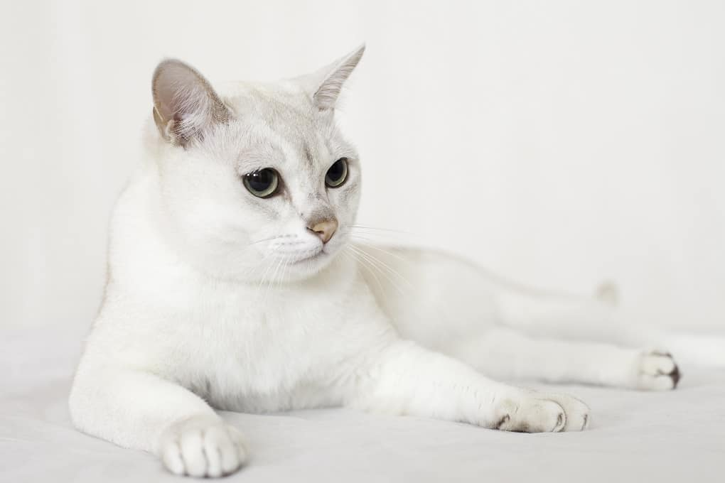 Burmilla Cat breed
