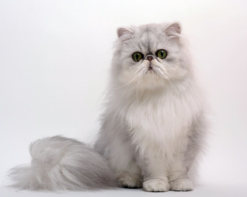 Asian Semi-longhair cat