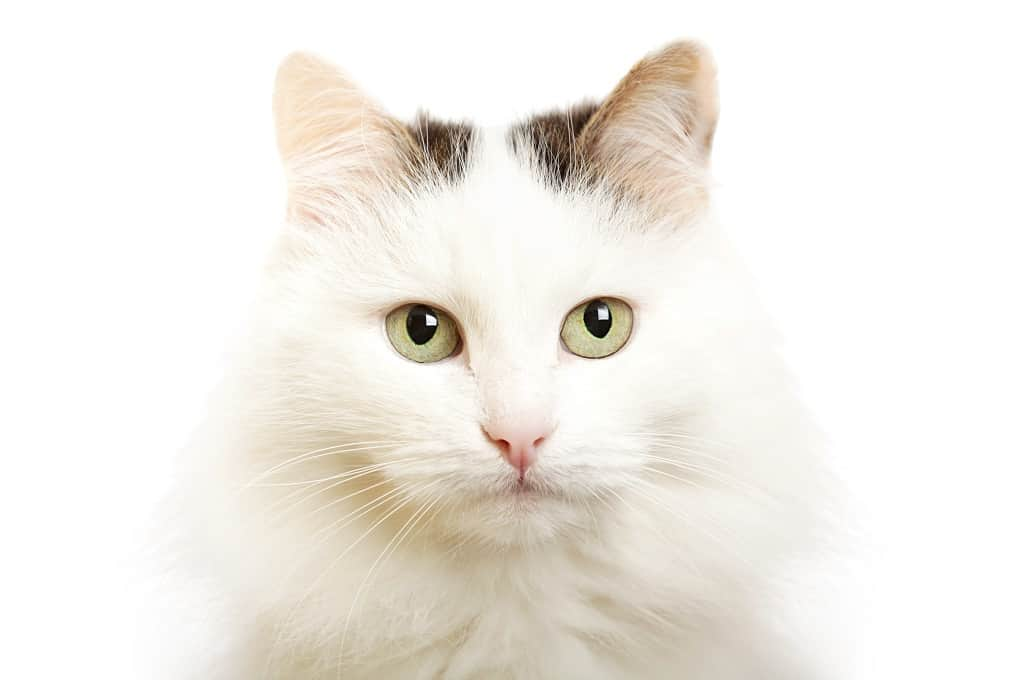 Cute Turkish Van Cat