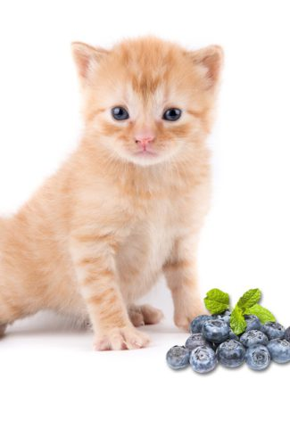 cat eating blueberries
